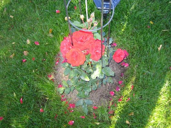 Rosbusken Här fanns det tidigare en radioantenn. För att dölja maströret har jag planterat en rosbuske här i stället.&nbsp 2005-09-17 IMG_0028 Granudden Färjestaden Öland