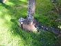 Runt Körsbärsträdet skall jag ha lite Stockrosor. (2005-09-17 IMG_0021)