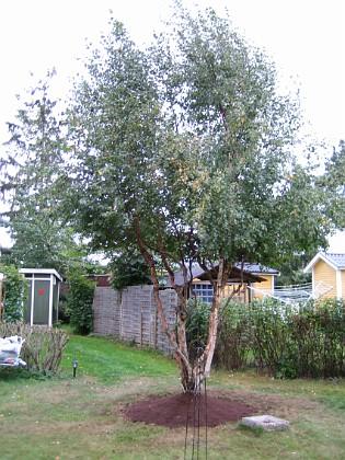 Björken &nbsp 2005-09-18 IMG_0108 Granudden Färjestaden Öland