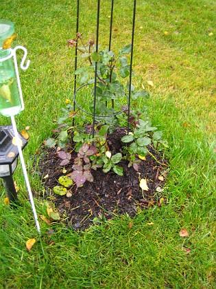 Rosbusken Rosbusken som planterades i slutet av sommaren mår fint.&nbsp 2005-11-05 IMG_0009 Granudden Färjestaden Öland