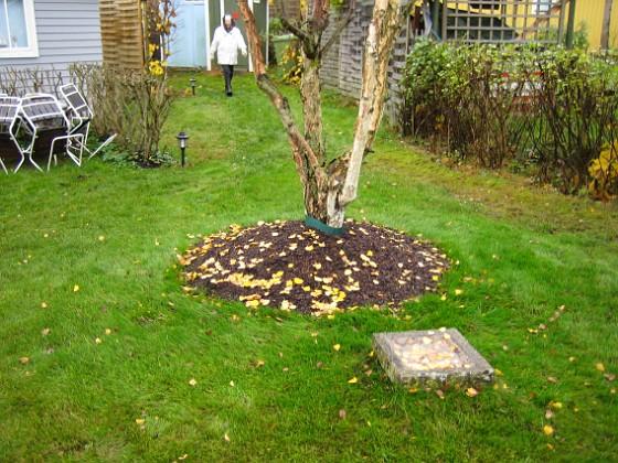 Björken Gräset som vi planterade runt björken ser ut att ha tagit sig riktigt fint efter bara ett par veckor.&nbsp 2005-11-05 IMG_0010 Granudden Färjestaden Öland