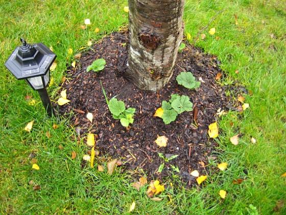 Körsbärsträd Ännu en bild av stockrosorna. Alla utom en var synliga inom två veckor efter planteringen!&nbsp 2005-11-05 IMG_0013 Granudden Färjestaden Öland
