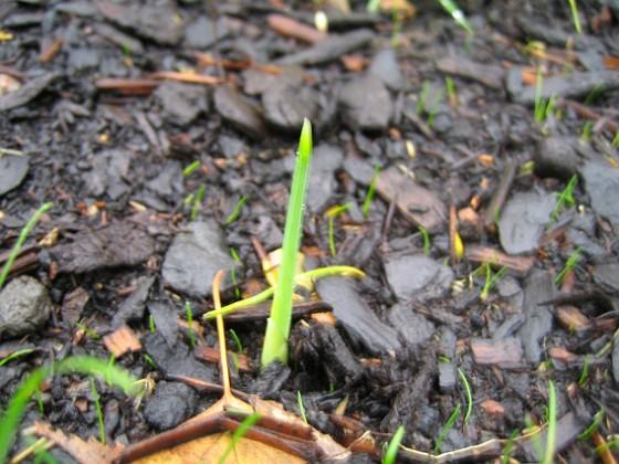 Iris { En liten Iris som vill upp. }