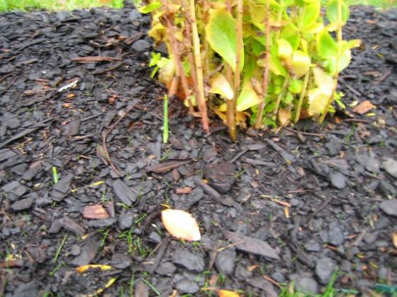Kärleksört Här ser vi Kärleksört i bakgrunden och framför några Iris.&nbsp 2005-11-05 IMG_0033 Granudden Färjestaden Öland