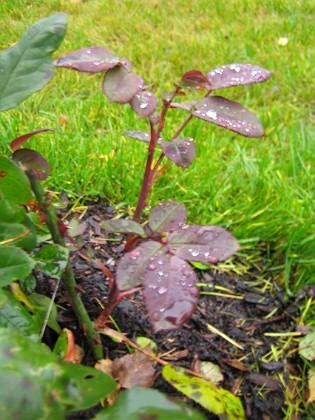 Klängros Ett nytt skott växer på rosbusken.&nbsp 2005-11-05 IMG_0045 Granudden Färjestaden Öland