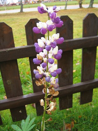 Lupin i november! { Lupinen har nästan blommat över. Man måste väl ändå anse det vara exceptionellt att ha blommande lupiner i november! }