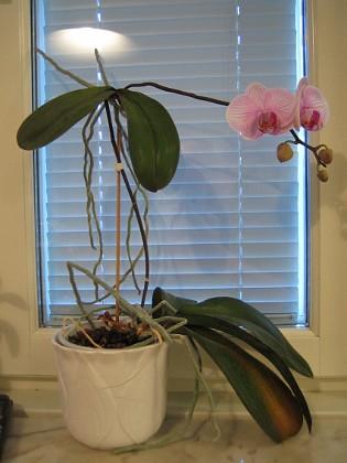 Orkidé Hemma i Nybro finns denna säregna Orkidé.&nbsp 2005-11-05 IMG_0099 Granudden Färjestaden Öland