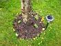 Runt stammen av det gamla nedsågade körsbärsträdet har jag planterat 6 stockrosor. Alla utom en tog sig med en gång, men nu ser vi att även den sjätte har tagit fart. Vi får väl se hur långlivade dessa stockrosor blir. Man kan ju gardera sig och plantera ett par nya varje år. (2005-11-05 IMG_0012)