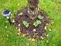 Körsbärsträd Ännu en bild av stockrosorna. Alla utom en var synliga inom två veckor efter planteringen! 2005-11-05 IMG_0013