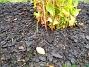 Kärleksört Här ser vi Kärleksört i bakgrunden och framför några Iris. 2005-11-05 IMG_0033