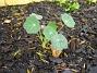 Krasse Ett litet krassefrö smög sig in i rabatten vid planeringen. 2005-11-05 IMG_0047