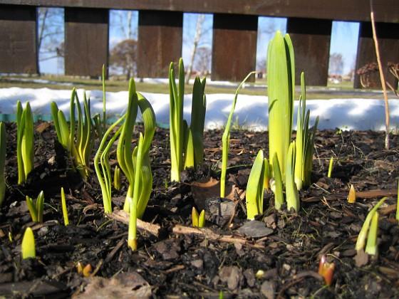 Påskliljor Påskliljor. 2006-04-01 Bild 005 Granudden Färjestaden Öland