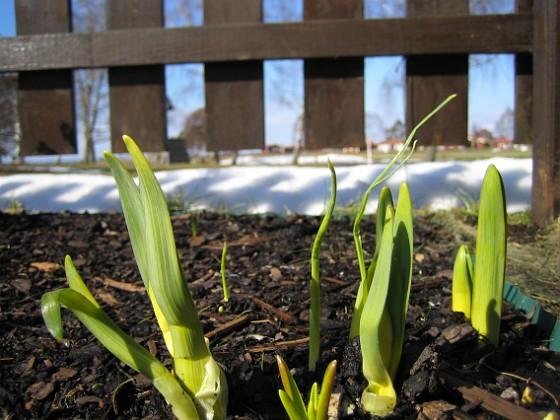 Påskliljor Påskliljor.&nbsp 2006-04-01 Bild 006 Granudden Färjestaden Öland