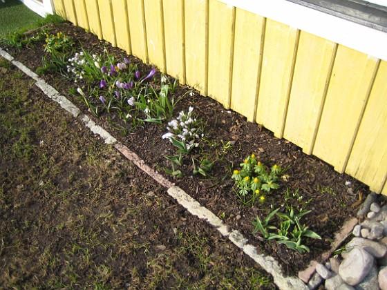 Altanen Krokus, Vintergäck.&nbsp 2006-04-12 Bild 006 Granudden Färjestaden Öland