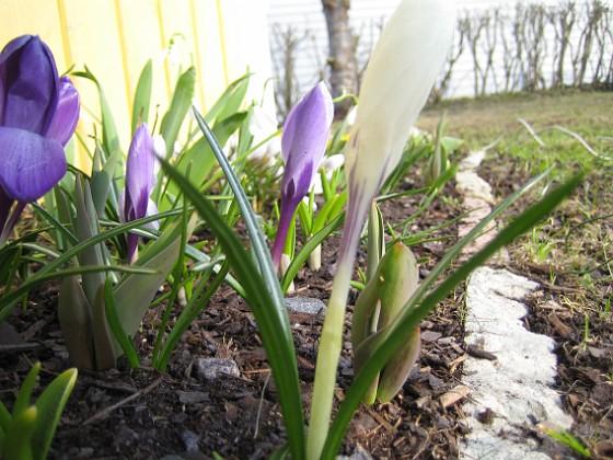 Krokus Krokus 2006-04-12 Bild 027 Granudden Färjestaden Öland