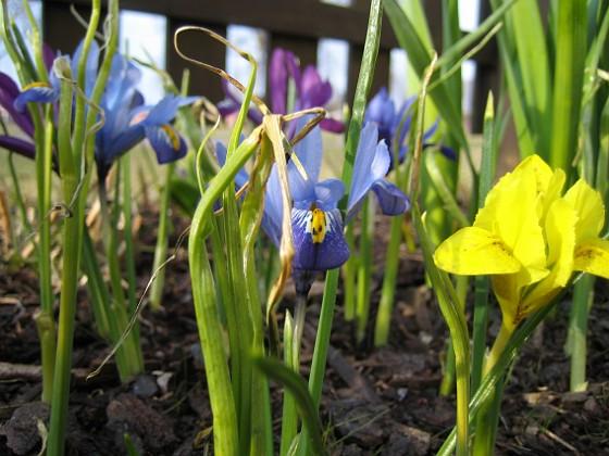 Iris { Dvärgiris. Regnbågsiris. }