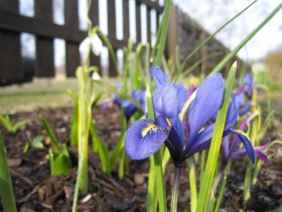 Iris { Regnbågsiris. }