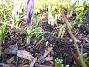 Krokus Krokus. 2006-04-12 Bild 010