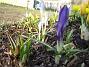 Krokus Krokus. 2006-04-12 Bild 012