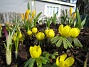 Vintergäck. (2006-04-12 Bild 014)