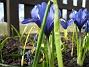 Iris Regnbågsiris. 2006-04-12 Bild 048