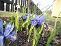 Iris Regnbågsiris. 2006-04-12 Bild 053