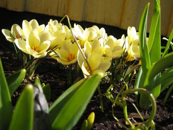 Krokus Krokus.&nbsp 2006-04-15 Bild 034 Granudden Färjestaden Öland