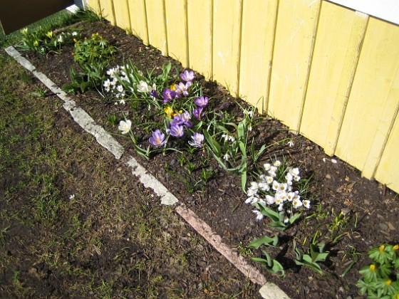 Krokus. 2006-04-15 Bild 039 Granudden Färjestaden Öland