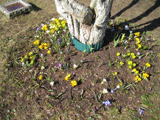 Björken Krokus, Vintergäck.&nbsp 2006-04-15 Bild 041 Granudden Färjestaden Öland