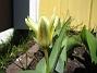 Tulpaner Näckrostulpan. 2006-04-15 Bild 004