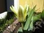 Tulpaner Näckrostulpan. 2006-04-15 Bild 005