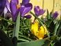 Krokus. (2006-04-15 Bild 011)