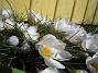 Krokus Krokus. 2006-04-15 Bild 012