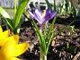 Krokus Krokus. 2006-04-15 Bild 018