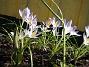 Snökrokus. (2006-04-15 Bild 032)