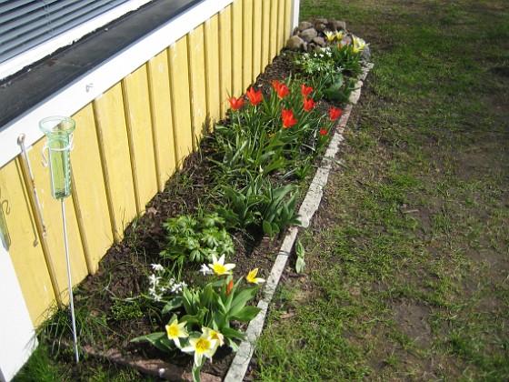 Altanen Näckrostulpan. Kaufmanniatulpan.&nbsp 2006-04-23 Bild 009 Granudden Färjestaden Öland