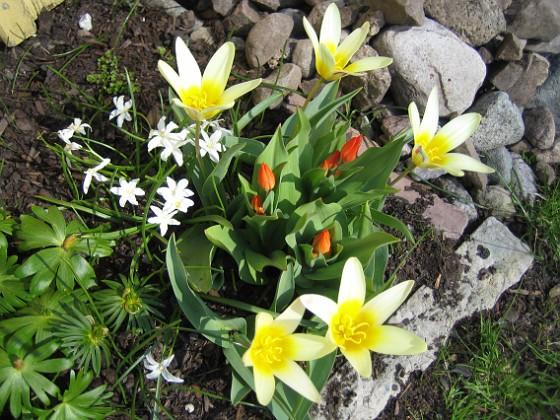 Näckrostulpan Näckrostulpan, Anemontulpan, Vit vårstjärna.&nbsp 2006-04-23 Bild 012 Granudden Färjestaden Öland