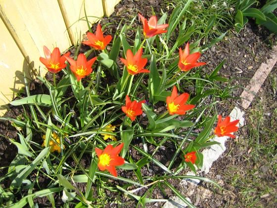 Kaufmanniana-tulpane Kaufmanniana-tulpaner.&nbsp 2006-04-23 Bild 013 Granudden Färjestaden Öland