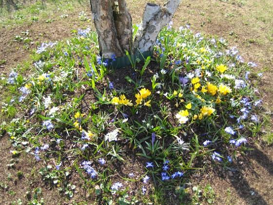 Vårstjärna och Krokus Vårstjärna, Krokus.&nbsp 2006-04-23 Bild 021 Granudden Färjestaden Öland
