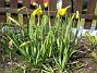 Påskliljor. (2006-04-23 Bild 004)