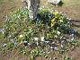 Vårstjärna Vårstjärna, krokus. 2006-04-23 Bild 020