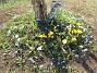 Vårstjärna och Krokus Vårstjärna, Krokus. 2006-04-23 Bild 021