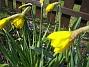 Påskliljor. (2006-04-23 Bild 029)