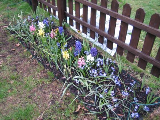 Hyacinter Hyacinter, Vårstjärna.&nbsp 2006-04-30 Bild 008 Granudden Färjestaden Öland