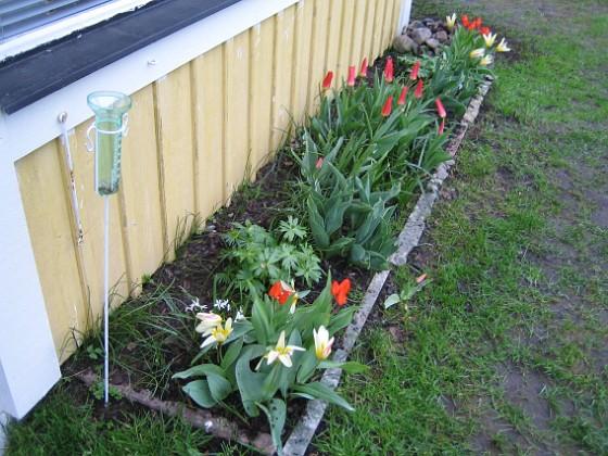Altanen Näckrostulpan, Anemontulpan, Kaufmannianatulpan.&nbsp 2006-04-30 Bild 012 Granudden Färjestaden Öland