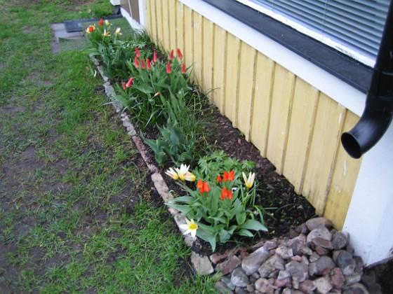 Altanen Näckrostulpan, Anemontulpan, Kaufmannianatulpan.&nbsp 2006-04-30 Bild 013 Granudden Färjestaden Öland