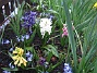 Hyacinter. (2006-04-30 Bild 004)