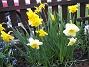 Påskliljor. (2006-04-30 Bild 005)