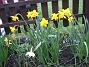 Påskliljor. (2006-04-30 Bild 006)
