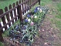 Hyacinter Hyacinter, Vårstjärna. 2006-04-30 Bild 009